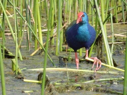 Birds of Wilderness - African Swamphen