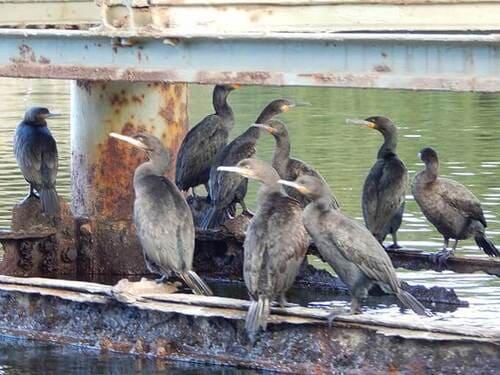 Cape-cormorants