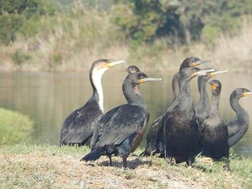 White breasted and Cape Cormorants